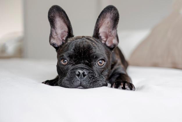 Piccolo bulldog francese adorabile che esamina macchina fotografica
