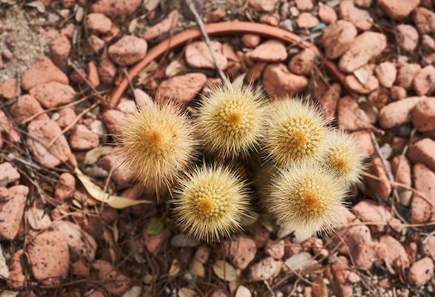 Piccolo cactus giallo su un fondo di roccia rossastra visto dall'alto