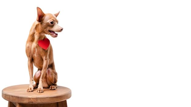 Piccolo cane adorabile che si siede su una sedia con lo spazio della copia