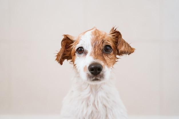 Piccolo cane adorabile sveglio bagnato in vasca, cane pulito. animali domestici al chiuso