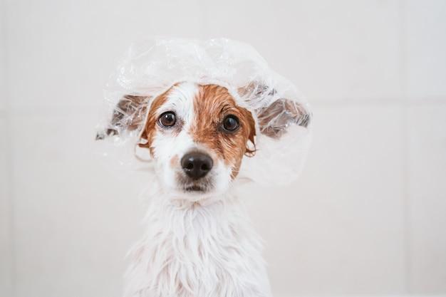Piccolo cane adorabile sveglio bagnato in vasca, cane pulito con cuffia da doccia divertente sulla testa. animali domestici al chiuso