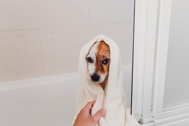 Piccolo cane adorabile sveglio bagnato in vasca. proprietario della giovane donna che ottiene il suo cane pulito a casa
