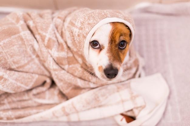 Piccolo cane adorabile sveglio che si asciuga con un asciugamano nel bagno. casa. ambientazione interna.