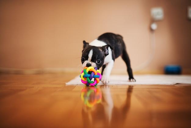 Piccolo cane che gioca con una palla colorata in casa. boston terrier.