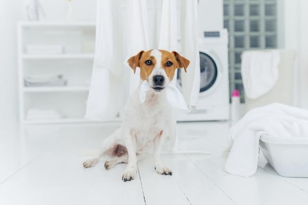 Piccolo cane di razza morde biancheria bianca appesa, posa sul pavimento in lavanderia a casa.