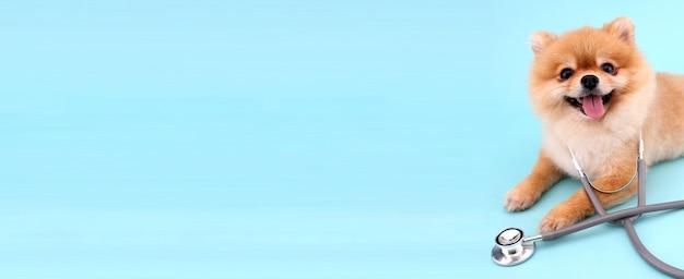 Piccolo cane pomeranian sveglio con lo stetoscopio come veterinario sul blu