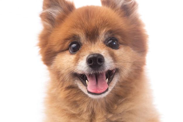 Piccolo cane rosso sdraiato su uno sfondo bianco