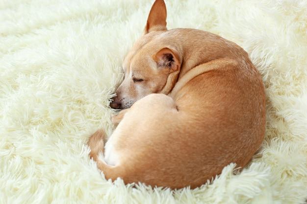 Piccolo cane stanco sveglio della chihuahua che dorme sul letto