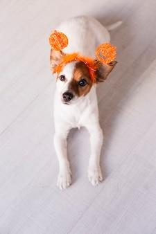 Piccolo cane sveglio che riposa sul pavimento e che esamina la macchina fotografica, indossando un diadema arancione di halloween. concetto, stile di vita al chiuso