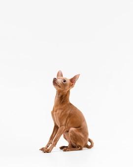 Piccolo cane sveglio della chihuahua che osserva via