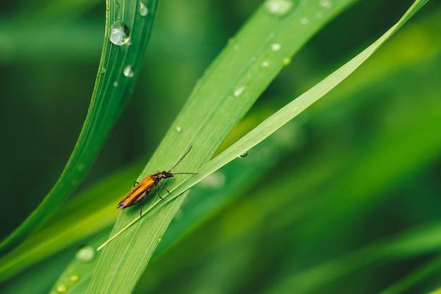 Piccolo cerambycidae dello scarabeo su erba verde brillante luminosa con il primo piano delle gocce di rugiada con lo spazio della copia.
