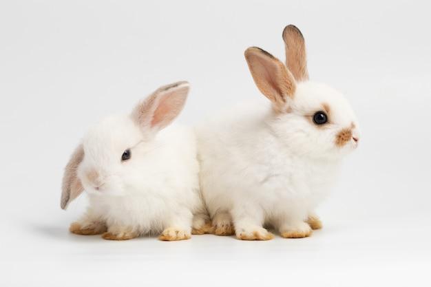 Piccolo coniglio delle coppie che si siede sul fondo bianco isolato allo studio.
