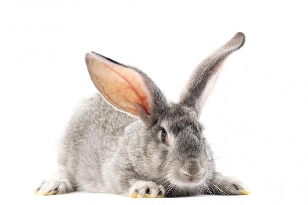 Piccolo coniglio lanuginoso grigio isolato