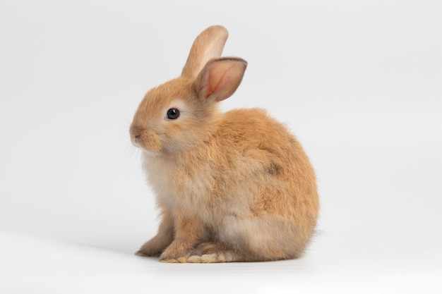 Piccolo coniglio marrone che si siede sul fondo bianco isolato allo studio.