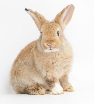 Piccolo coniglio marrone sveglio su un bianco. concetto di mammiferi e pasqua.