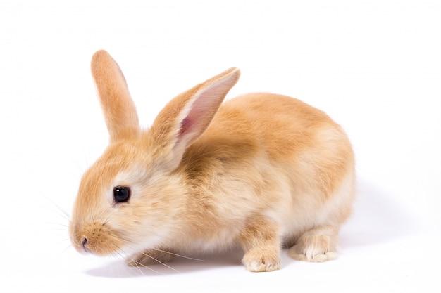 Piccolo coniglio rosso birichino