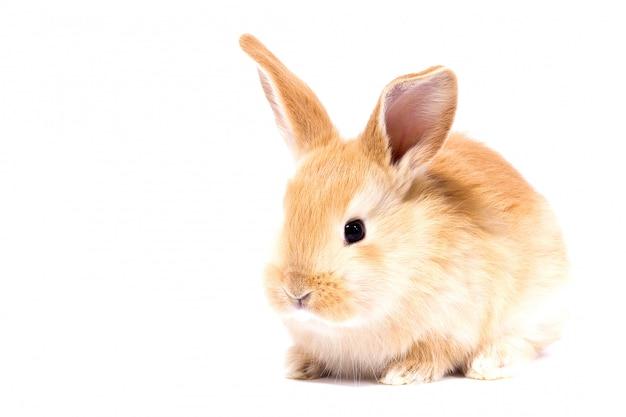 Piccolo coniglio rosso lanuginoso, isolato, coniglietto di pasqua