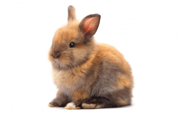 Piccolo coniglio sveglio, pelliccia marrone che si siede su un bianco