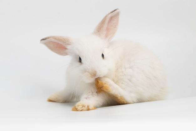 Piccolo coniglio timido che si siede sulla priorità bassa bianca isolata allo studio.