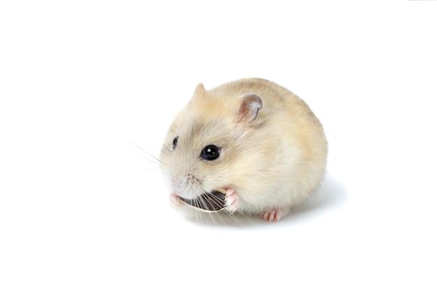 Piccolo criceto lanuginoso che mangia un seme, isolato su fondo bianco.