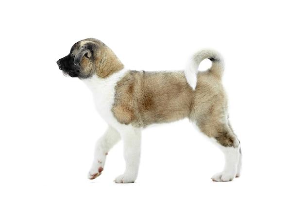 Piccolo cucciolo americano carino akita con pelliccia marrone e bianca