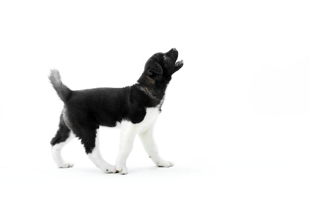 Piccolo cucciolo americano di akita di scortecciamento