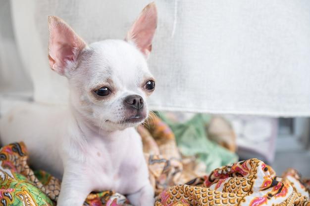 Piccolo cucciolo bianco della chihuahua che si siede e che guarda