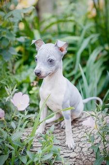 Piccolo cucciolo carino (american hairless terrier) si siede su uno sfondo di foglie verdi