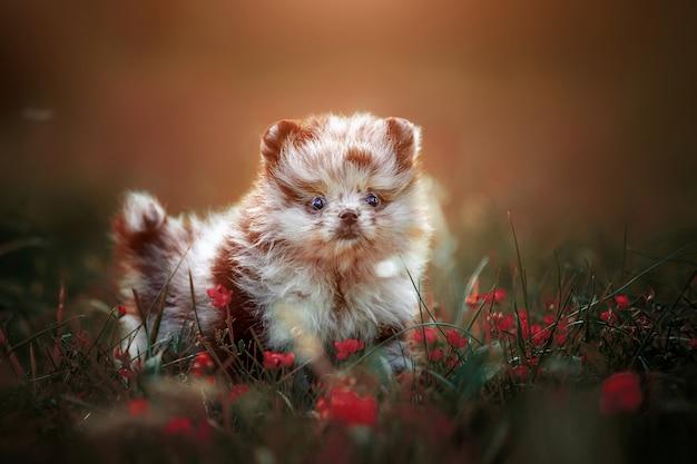 Piccolo cucciolo carino di colore pomerania merle sul prato