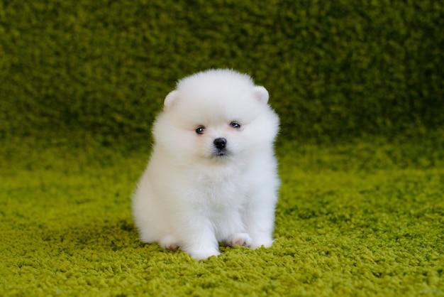 Piccolo cucciolo di spitz-cane di pomerania. può essere usato come sfondo