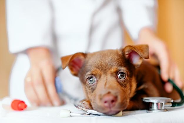 Piccolo cucciolo marrone con gli occhi tristi sul tavolo dal veterinario