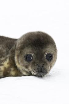 Piccolo di foca