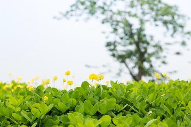 Piccolo fiore giallo sulla priorità bassa dell'erba verde