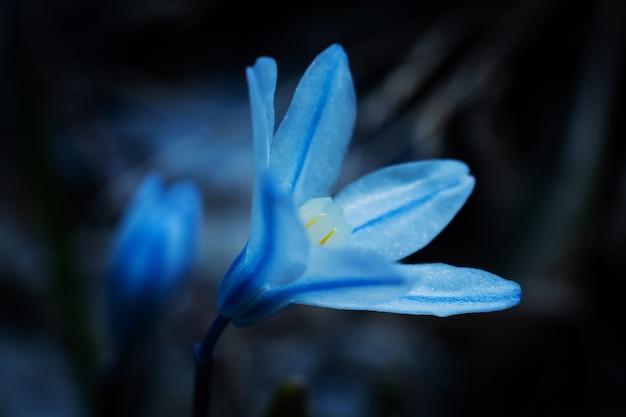 Piccolo fiore selvaggio blu in gocce di acqua close-up su un oscuro