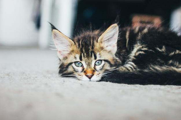 Piccolo gattino a strisce grigio sdraiato sul pavimento e guardando la fotocamera