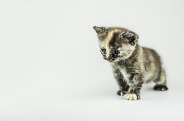 Piccolo gattino con una colorazione di tartaruga. bambino gatto tabby