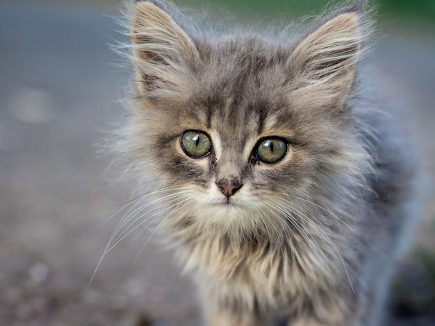 Piccolo gattino grigio lanuginoso con gli occhi verdi. animali preferiti
