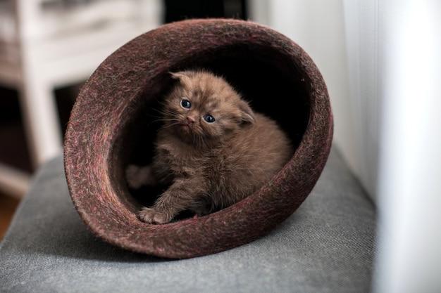 Piccolo gattino sveglio del popolare dello scottish che si siede nel cappello. gatto dalle orecchie pendenti marrone.
