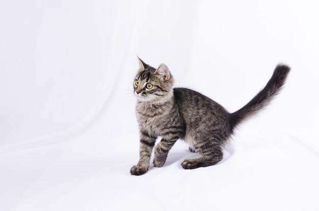 Piccolo gatto grigio a strisce isolato su bianco