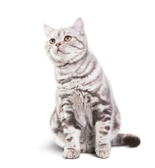 Piccolo gatto grigio sveglio su fondo bianco