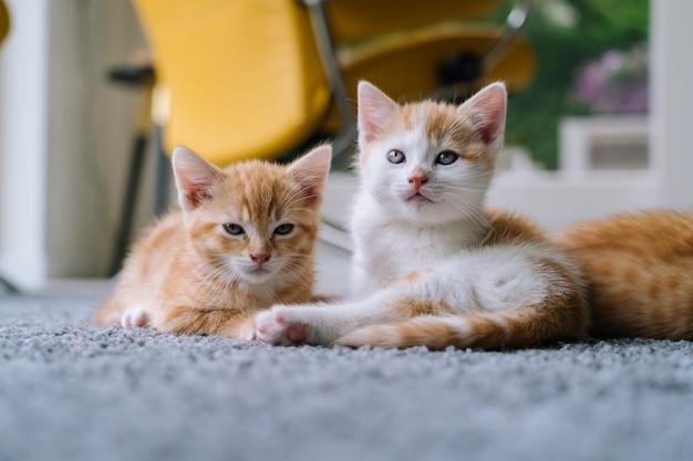 Piccolo gatto rosso sveglio che si siede sulla sedia gialla vicino alla finestra. giovane carino piccolo gattino rosso. gattino dai capelli lunghi dello zenzero gioca a casa. simpatici animali domestici divertenti. animali domestici e gattini giovani.