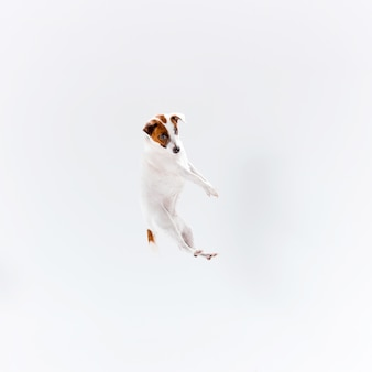 Piccolo jack russell terrier su bianco