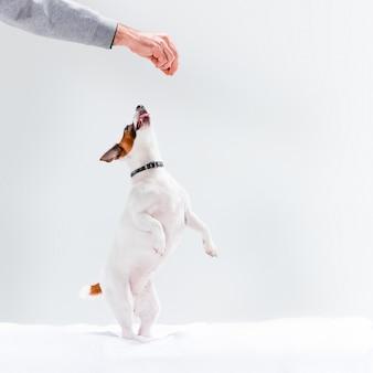 Piccolo jack russell terrier su bianco