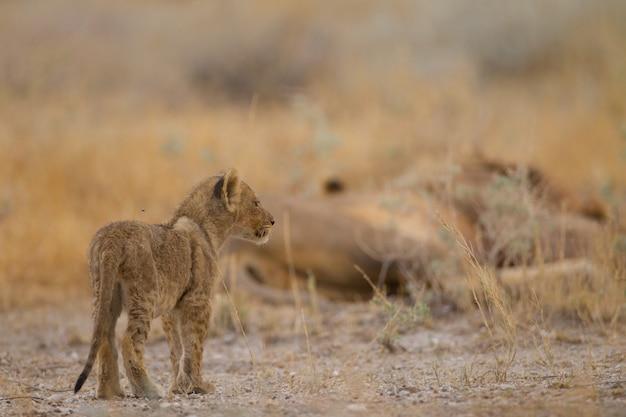 Piccolo leone sveglio del bambino che gioca fra l'erba nel mezzo di un campo
