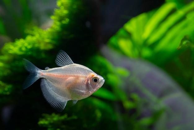 Piccolo pesce d'acquario nell'acquario