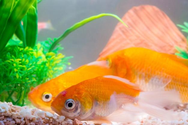 Piccolo pesce in acquario o pesciolino, pesci d'oro, pesce guppy e rosso, carpe fantasia con piante verdi, vita sottomarina.