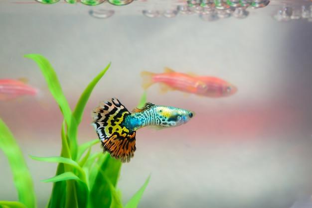Piccolo pesce in acquario o pesciolino, pesci d'oro, pesci guppy e rossi, carpe fantasia con pianta verde