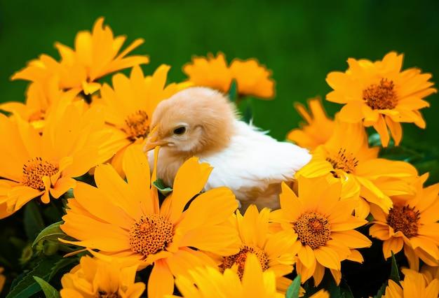 Piccolo pollo bambino nei fiori
