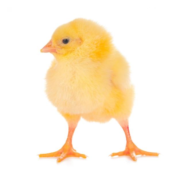 Piccolo pollo sveglio isolato su fondo bianco