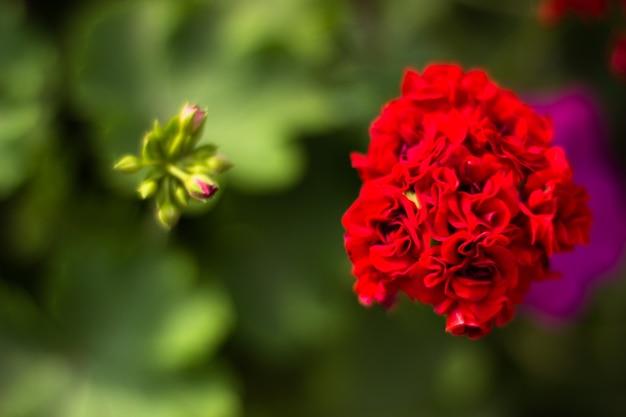 Piccolo primo piano bello dei fiori rossi su un fondo vago. poca profondità di campo